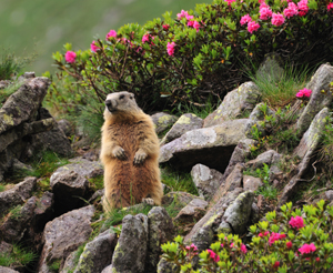 Marmot in the mountains