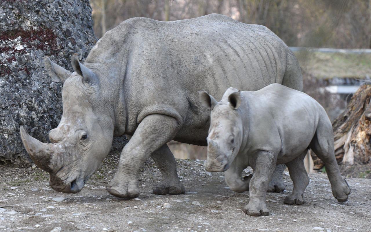 Rhinoceros at Salzburg Zoo