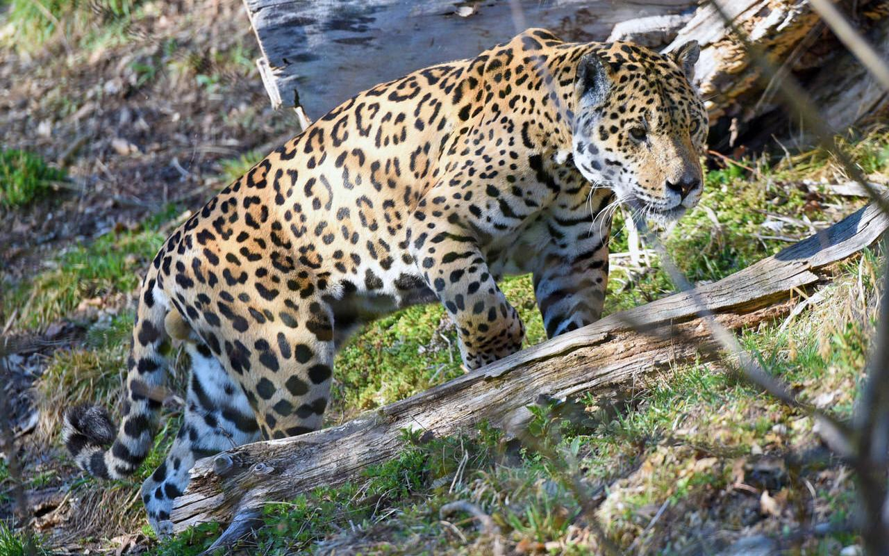 Jaguar at Salzburg Zoo