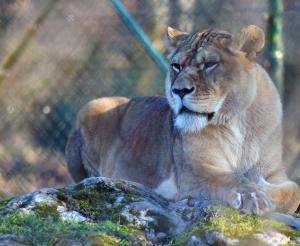 Lioness at Salzburg Zoo